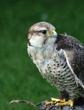 Close up of bird of prey Stock Photos