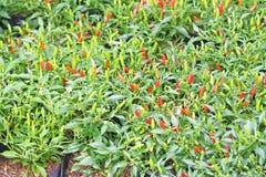 Bird`s Eye Chilli,Thai pepper stock photography