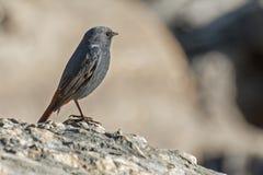 Close-up of a bird, Sikkim. Close-up of a bird sitting on rock, Sikkim Stock Image