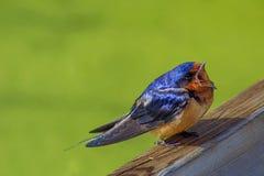 A Close Up Bird Singing stock photos