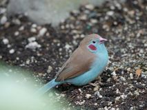 Blushing bird. Close up of a bird with very bright pink/red cheeks Royalty Free Stock Photo