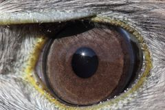 A close up of a Birds eye. A close up of a Buteo eye with the sun sparkling Stock Image