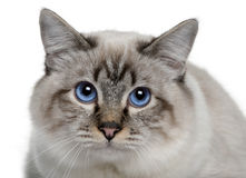 Close up of a Birman Royalty Free Stock Images