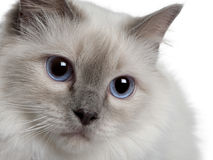 Close up of a Birman Royalty Free Stock Photography