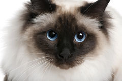 Close up of a Birman (2 years old) Royalty Free Stock Images