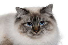 Close up of a Birman (8 months old) Royalty Free Stock Image