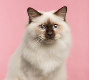 Close-up of a Birman cat. On a pink background Royalty Free Stock Image