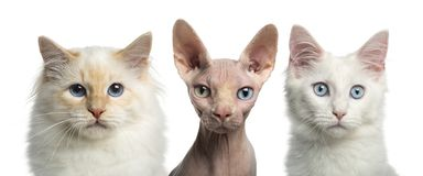 Close-up of a Birman cat, a Main coon kitten and a Sphynx royalty free stock photos