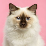 Close-up of a Birman kitten looking at the camera Stock Image