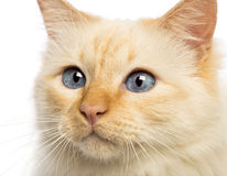 Close-up of a Birman looking away Stock Image