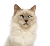 Close-up of a Birman looking away, crossed-eyes Royalty Free Stock Photography