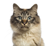 Close-up of a Birman looking at camera Stock Image