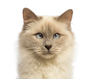 Close-up of a Birman looking at camera, crossed-eyes Stock Photos