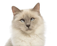 Close-up of a Birman looking at camera, crossed-eyes Royalty Free Stock Photos