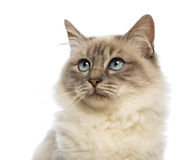 Close-up of a Birman looking up Royalty Free Stock Photo