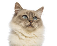 Close-up of a Birman looking up Royalty Free Stock Images