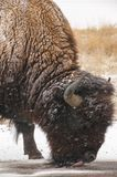 Bison In Snow Licking The Ground 1. Close up of bison with snow flakes on him, licking the ground stock photography
