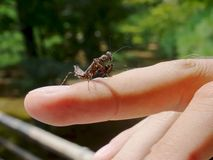 Close up of a black baby Praying Mantis walking on a finger royalty free stock photo
