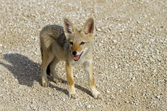 Close-up of black-backed jackal baby Royalty Free Stock Photos