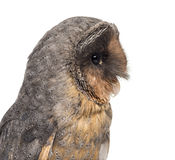 Close-up of a Black barn owl (Tyto alba) Royalty Free Stock Photography