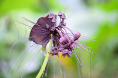 Close up of  black bat flower or Tacca chantrieri. Black bat flower across with long whiskers Stock Images