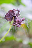 Close up of  black bat flower or Tacca chantrieri. Black bat flower across with long whiskers Stock Photography