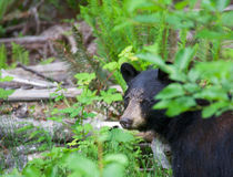 Close up of a black bear hiding in the forest in British Columbia Canada Stock Image