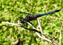 Close up of black and blue dragonfly Royalty Free Stock Photo