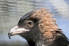 Black breasted buzzard Royalty Free Stock Photography
