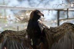 Black breasted buzzard Stock Photography