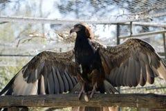 Black breasted buzzard Stock Image