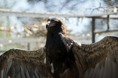 Black breasted buzzard Stock Images