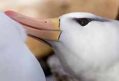 Close up of black browed albatross preening partneer Stock Images