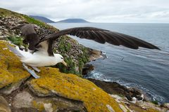 Close-up of a Black-browed Albatross with spreaded wings Stock Image