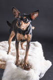 A close up of a black and brown dog standing over a chair covered in white fur Stock Photo