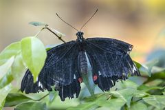 Close up of butterfly on a leaf. Close up of a black butterfly sitting on a leaf stock image