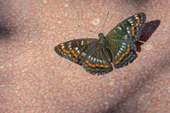 Black butterfly. The close-up of a black butterfly with white and orange speckles royalty free stock photography