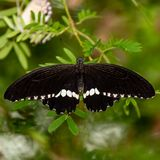Large Black Butterfly with White Trim. A close up of a black butterfly with white trim on its wings. The butterfly has its wings spread open and the view is of royalty free stock image