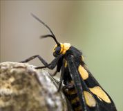 Butterfly With Yellow Markings On Tree Branch. Close up of a black butterfly with yellow markings on a tree branch. Monarch butterfly stock image