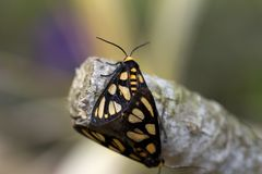 Butterfly With Yellow Markings On Tree Branch. Close up of a black butterfly with yellow markings on a tree branch. Monarch butterfly stock photos