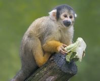 Close up of a Black-capped Squirrel Monkey with food stock photos