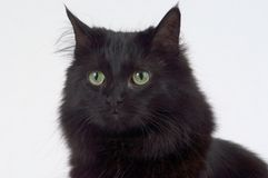 Close up of Black Cat. Close up of the face of a black cat photographed on a white background Stock Image