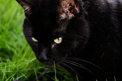 Close up of Black Cat Royalty Free Stock Image