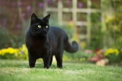 Close up of a black cat on the grass. In the back yard, UK royalty free stock photo