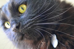 Close Up of a Black Cat Stock Image