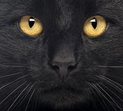 Close-up of a Black Cat. Looking at camera Royalty Free Stock Photo