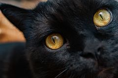Close-up of a black cat`s yellow eyes Royalty Free Stock Photos