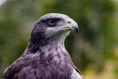 Close-up of Black-Chested Buzzard-Eagle head. At a bird rescue center in Ecuador at a bird rescue center in Ecuador royalty free stock photography