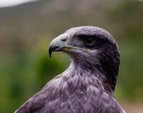 Close-up of Black-Chested Buzzard-Eagle head. At a bird rescue center in Ecuador at a bird rescue center in Ecuador royalty free stock images