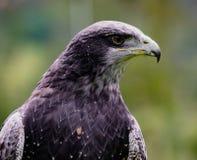 Close-up of Black-Chested Buzzard-Eagle head. At a bird rescue center in Ecuador stock photography